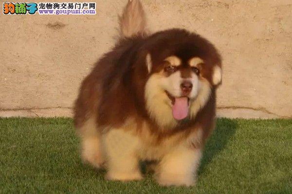 巨型熊版阿拉斯加,百姓价格,纯种血统加微信视频看狗