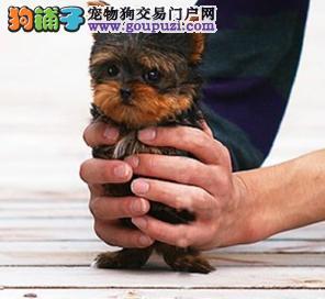 出售精品约克夏一签协议一都是实物照片一杜绝星期狗
