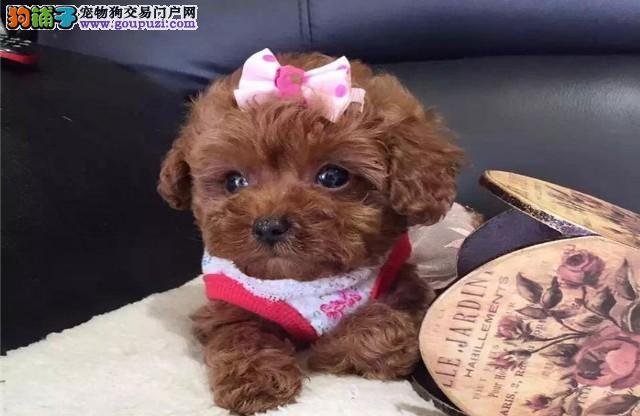 出售泰迪犬颜色齐全公母都有当日付款包邮