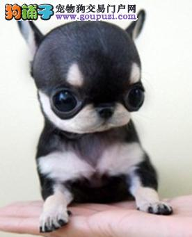 纯种吉娃娃 签协议 保健康 色样齐全极品幼犬出售
