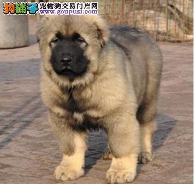 顶级俄系大骨量熊版巨型高加索犬证书齐全八联疫苗齐全