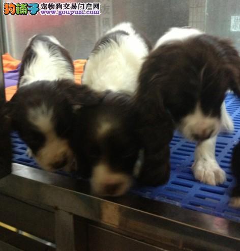 海南买狗/海南快手出售史宾格/海口秒杀史宾格幼犬出售