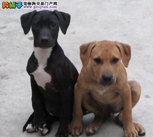 出售多只优秀的比特犬丽江可上门签署各项质保合同