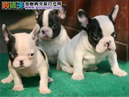 法国斗牛犬幼犬热销中 真实照片保纯保质 质保全国送货