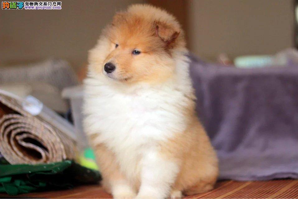 权威机构认证犬舍 专业培育苏牧幼犬微信咨询欢迎选购