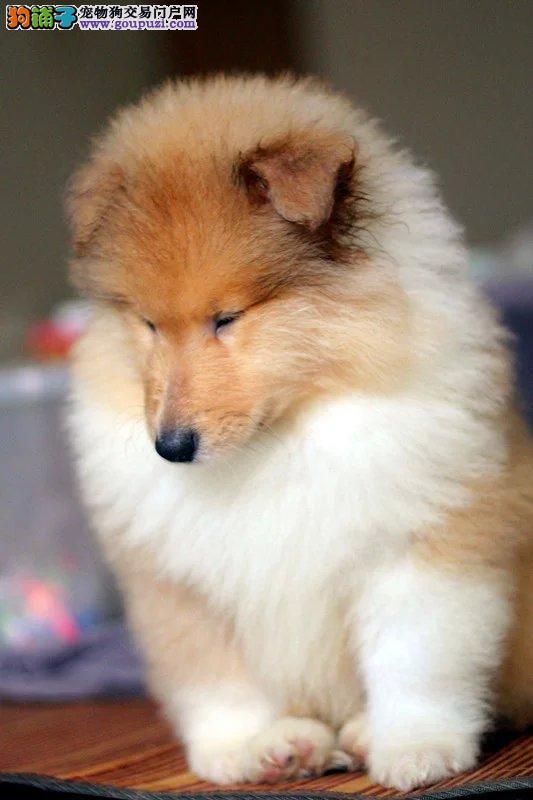极品蓝陨石苏格兰牧羊犬宝宝