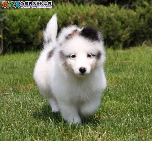 小型犬喜乐蒂牧羊犬 小的牧羊犬喜乐蒂狗狗 出售