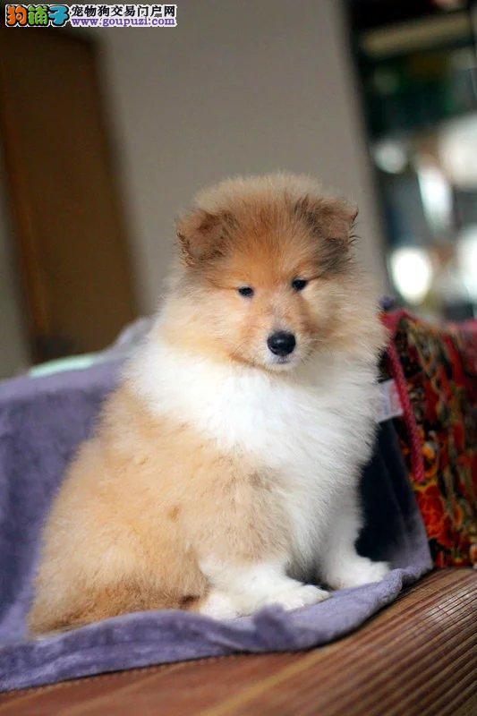 深圳养殖场出售纯种苏牧 疫苗齐全 来场看狗