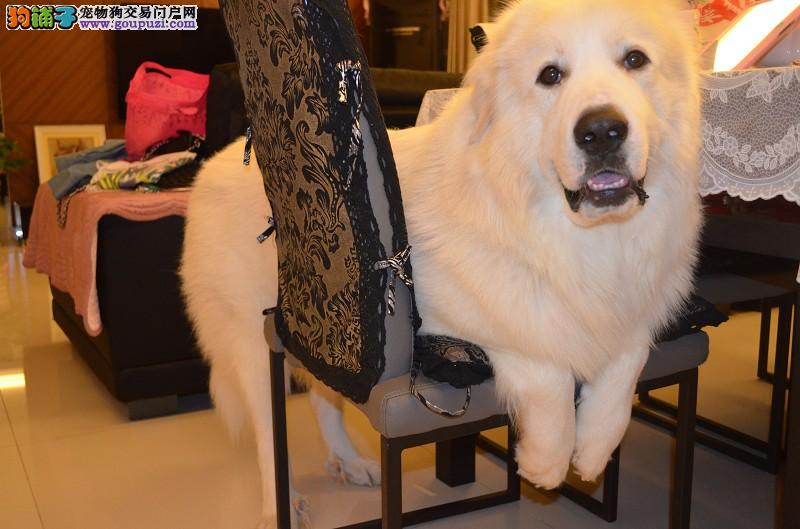 吴氏高端名犬养殖户 养狗狗最好的地方名犬直销