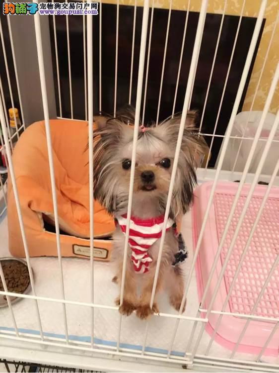 金头银背幼犬约克夏出售疫苗齐全 健康纯种 质量保障
