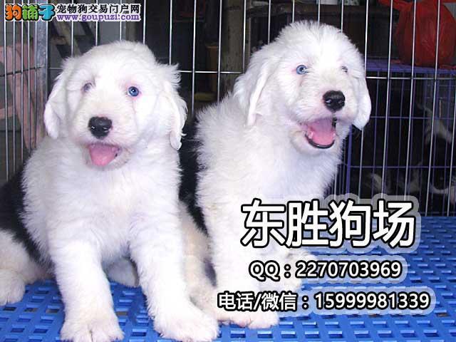 纯种超可爱古牧犬白头通背双杏眼体态完美保健康包疫苗