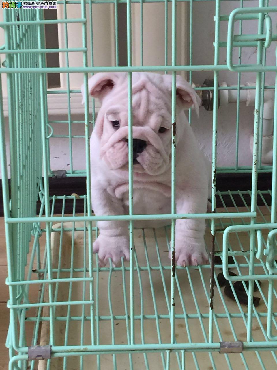 高气质血统纯正的广州斗牛犬找新家 可视频看狗