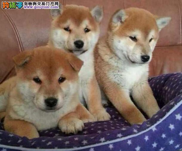 赛级柴犬宝宝、金牌店铺品质第一、购犬可签协议
