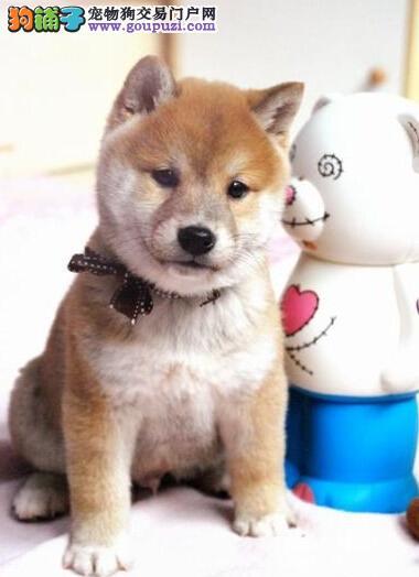 纯种柴犬保纯保健康CKU认证血统质量三包
