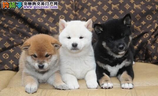 日本柴犬出售 纯种柴犬狗狗 健康保障 终身品质保障