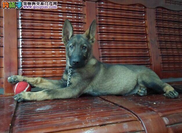 出售赛级昆明犬 CKU认证犬舍 三包终生协议