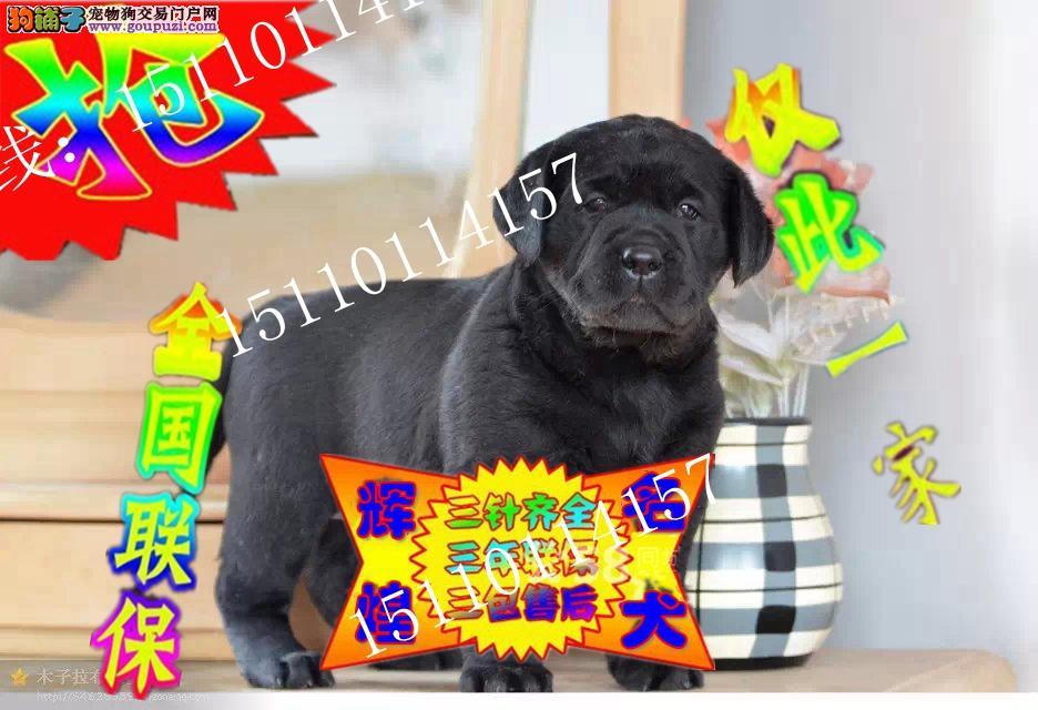 高品质顶级拉布拉多犬幼犬出售,CKU永久注册犬舍