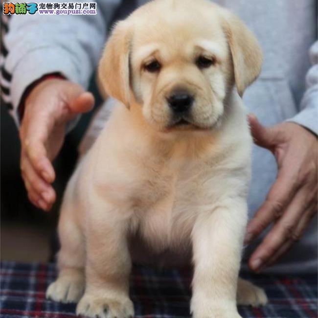 特别棒的拉布拉多犬,奶白拉布拉多神犬小七兄弟,