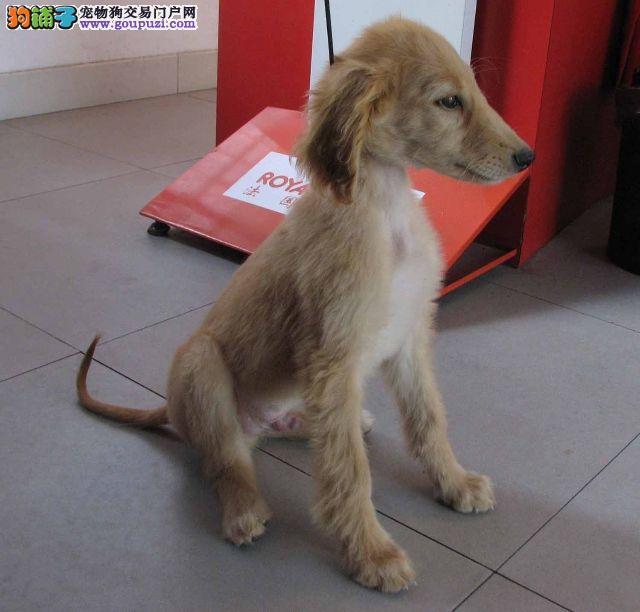 CKU犬舍认证出售高品质阿富汗猎犬看父母照片喜欢加微信