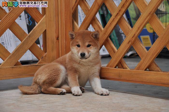 国际注册犬舍 出售极品赛级柴犬幼犬微信看狗真实照片包纯