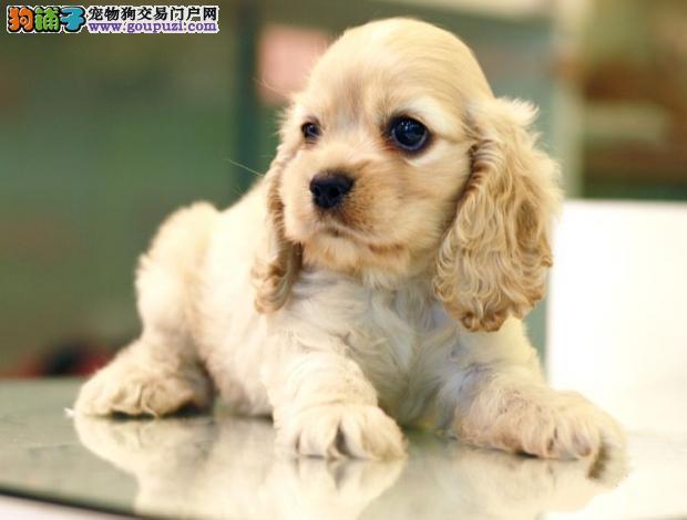纯种可卡幼犬,品质第一价位最低,质保健康90天