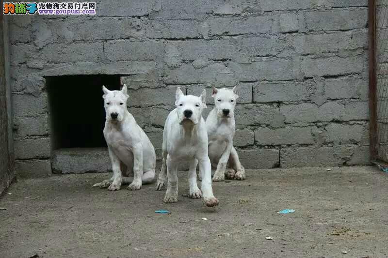 三个月血统抓野猪杜高犬价格,喜欢的进来看货到付款