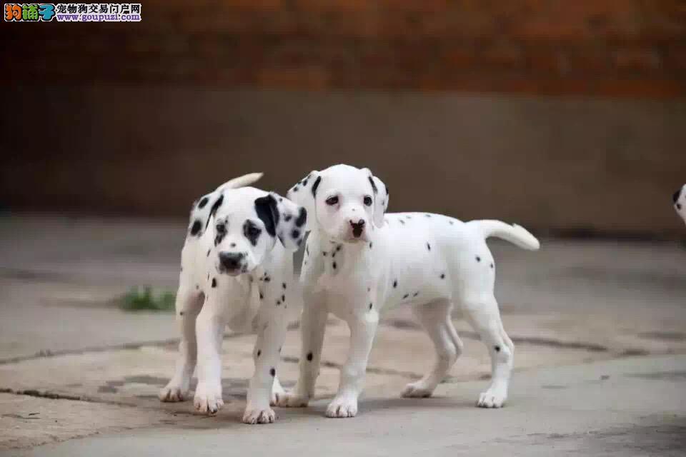 专业养殖基地,健康纯种斑点犬。品质保证