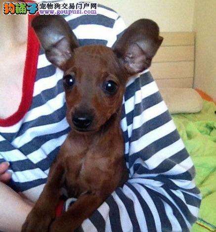 广州哪里有卖纯种小鹿犬 广州纯种小鹿犬价格多少