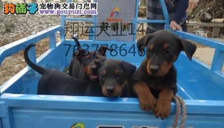 出售本狗场自繁育纯种苏联红幼犬健康质保