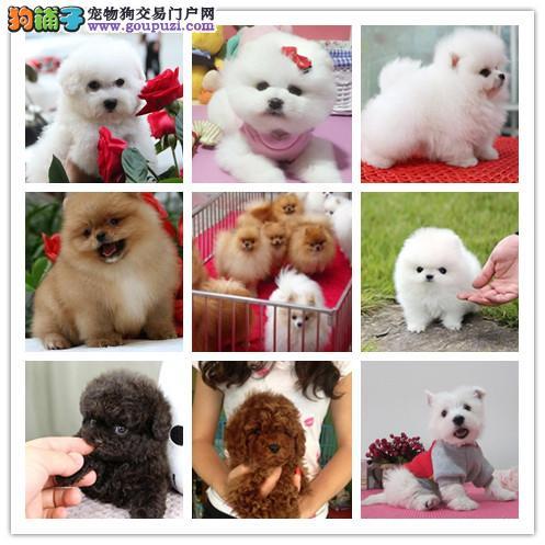 广州犬舍繁殖纯种健康宠物狗名犬 赛级贵宾犬