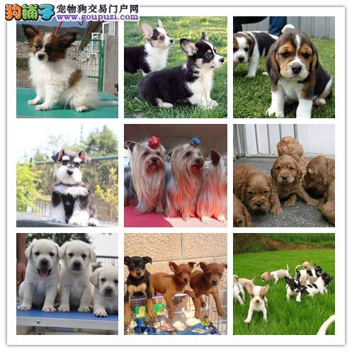 犬舍出售纯种健康世界名犬品种多样纯种健康多只挑选