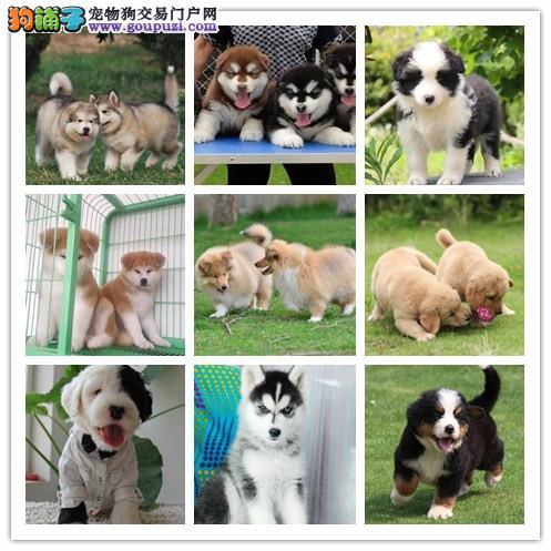 广州犬舍繁殖纯种健康宠物狗名犬 赛级德国牧羊犬