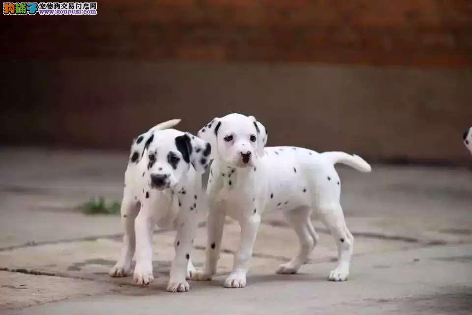 签订协议 质保三年 可当场做检查,斑点幼犬
