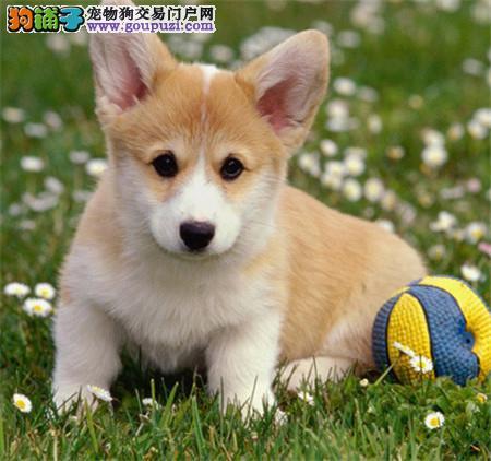 纯种柯基 威尔士柯基 北京哪有出售柯基幼犬的