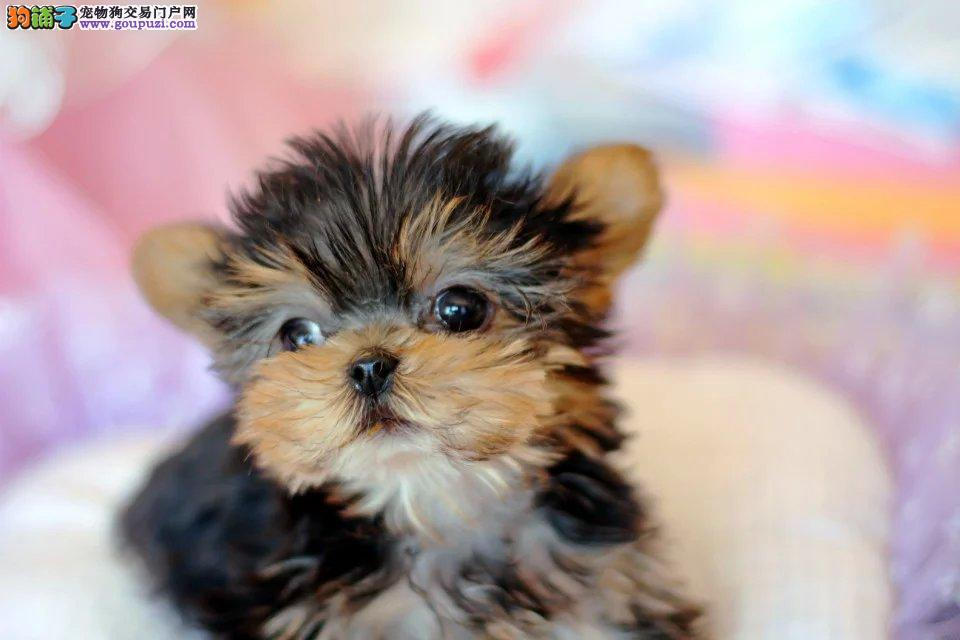 精美可爱纯种约克夏幼犬出售,购买签协议