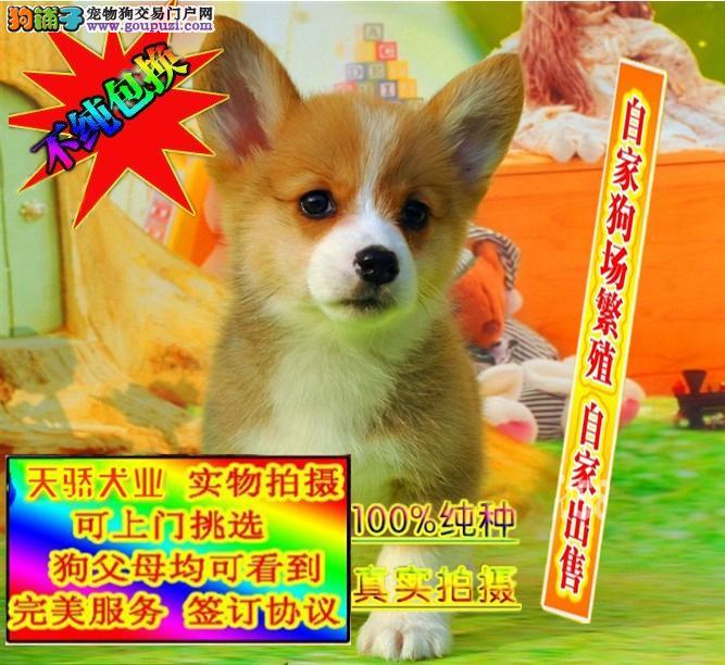 专业繁殖两色三色纯种柯基犬 赛级品质有保证 可刷卡
