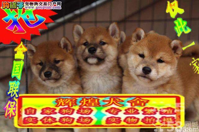 自家犬舍    柴犬幼犬    质保出售
