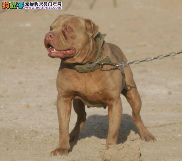 出售比特犬专业缔造完美品质可刷卡可视频