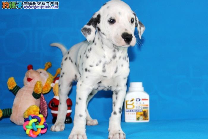 纯种斑点狗宝宝上海地区找主人爱狗人士优先狗贩勿扰