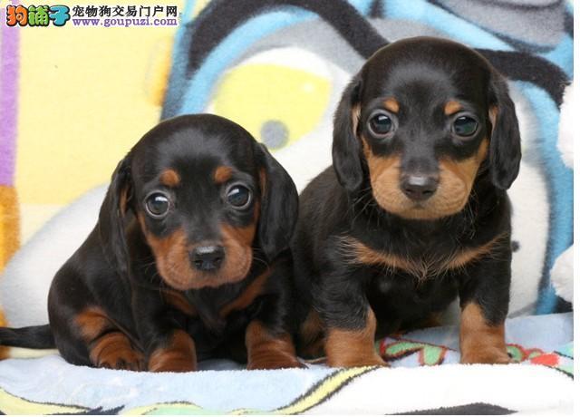 出售高品质腊肠犬 精心繁育品质优良 讲诚信信誉好