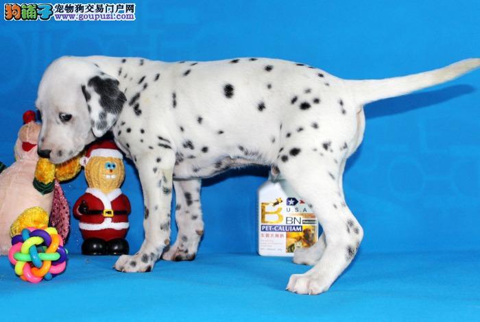 赛级斑点狗幼犬,假一赔十价位最低,全国送货上门