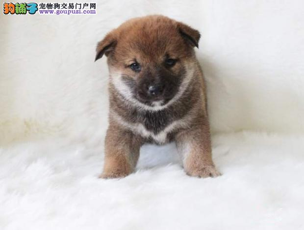 可爱的日本纯种柴犬一窝公母都有多只可挑选