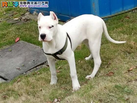 家养多只福州杜高犬宝宝出售中微信看狗可见父母