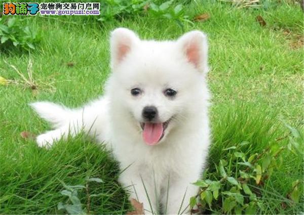 高贵美丽的尖嘴银狐犬~灰常活泼可爱!