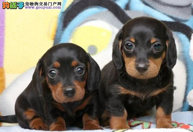 出售纯种腊肠幼犬健康保证信誉保证 血统保证送货上门