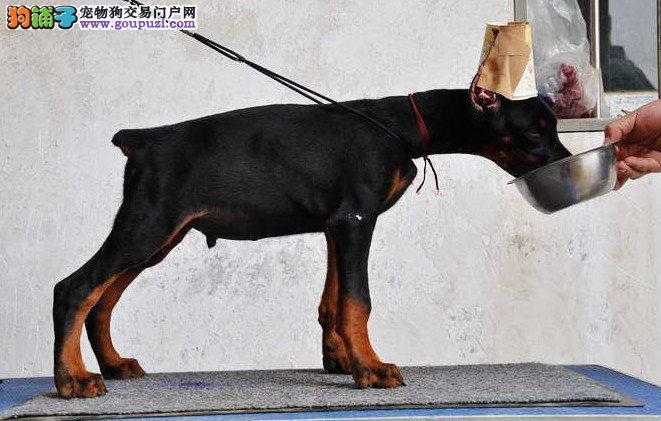 实物拍摄的北京杜宾犬找新主人签订终身协议