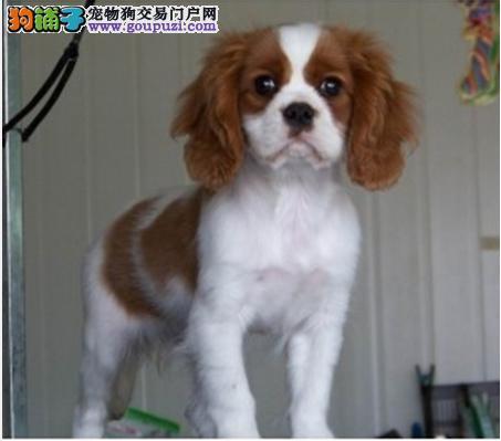 查理王 CKU认证犬舍 专业繁殖购买有保证