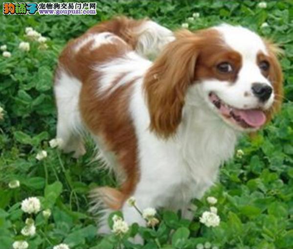 皇室血统 纯种英国骑士查理王小猎犬 协会认证