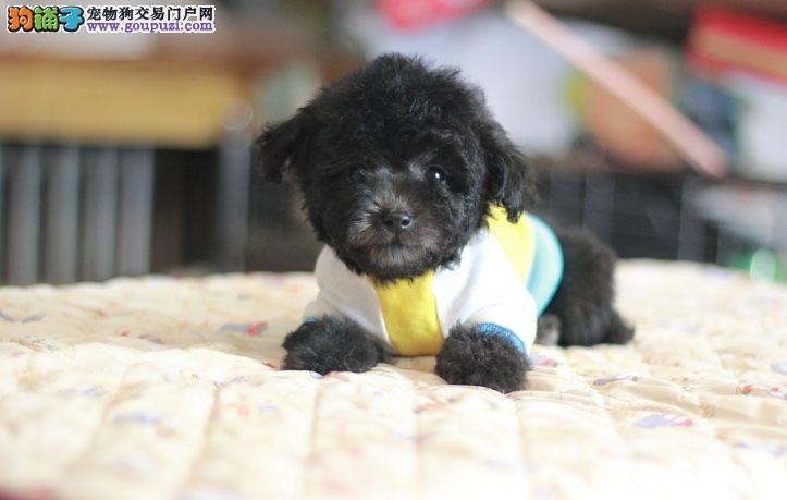 顶级袖珍茶杯犬 口袋宠物 包纯种健康!