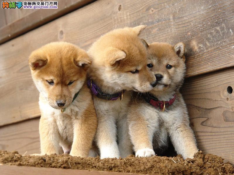 吉林哪里有柴犬 吉林柴犬最低多少钱吉林宠物交易